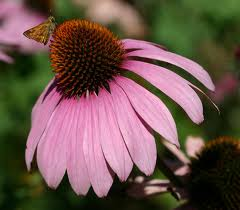herbal-remedies-echinacea