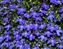 herbal-remedies-lobelia